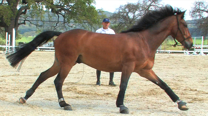 How To Train A Horse To Stop Cross Cantering On The Lunge Line