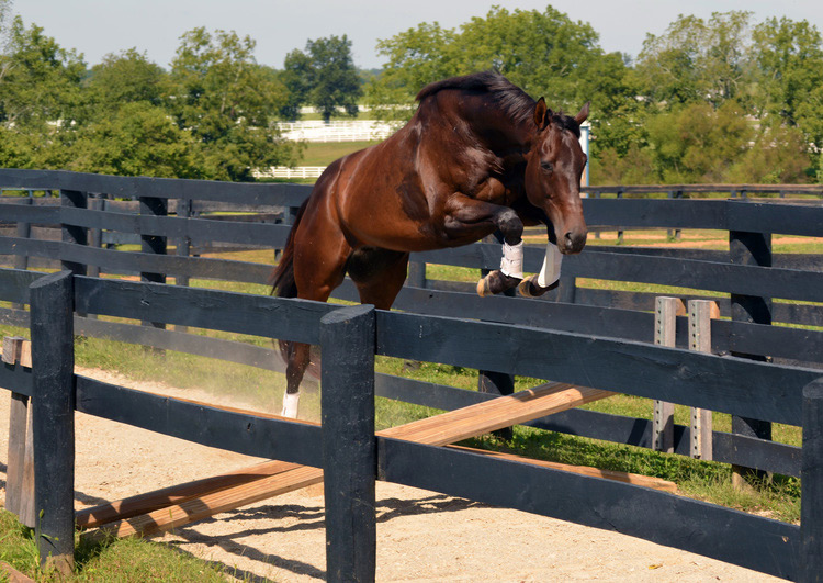 Thoroughbred Horse Free Jumping