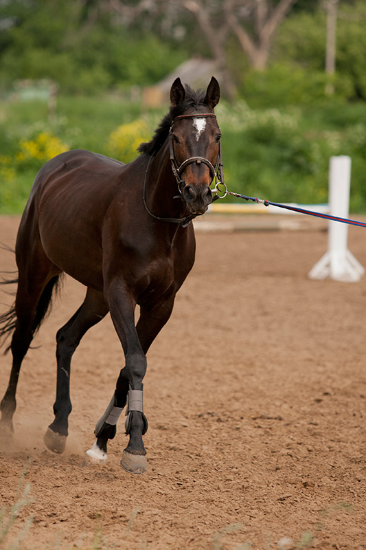 Thoroughbred Horse Longeing