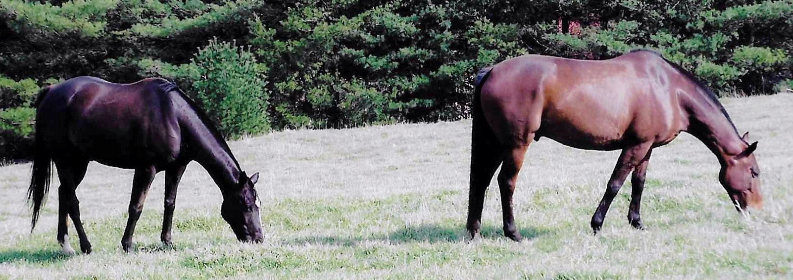 Western Prospect and a young retired polo pony grazing at Chester Bar Farm.