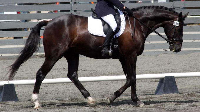 Dressage: Troubleshooting Your Horse's Free Walk