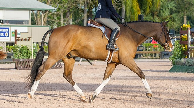 Teaching Your Horse To Stretch Their Neck Out In A Hunter Under Saddle Class